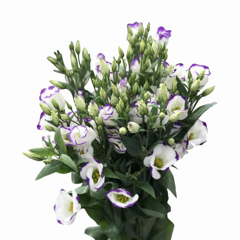 10-eustoma-piccolo-blue-blau-weiss