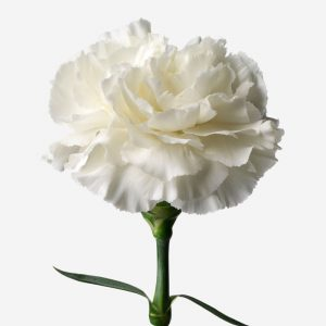 14520_carnation.cottonpuff.cut_car_nul_wht_prd_001